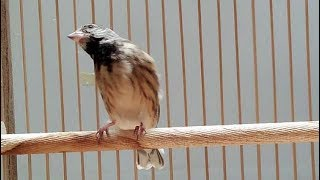 Burung Blackthroat Ngeroll Keras Suara Kristal