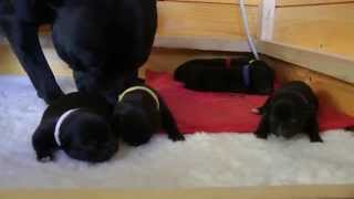 Freya's Puppies - Day 5 - Staffordshire Bull Terriers