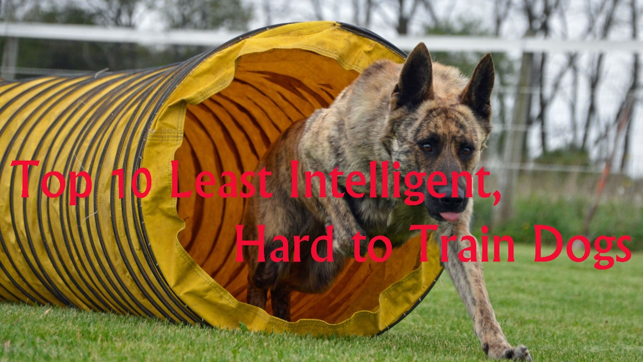 Dumbest Dog Breeds Top 100 Portalideas