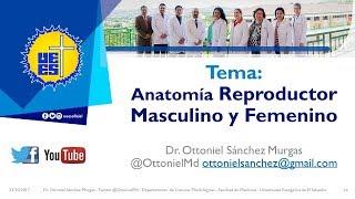 Tema 36 Anatomía del Aparato Reproductor Masculino y Femenino