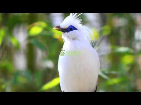 Download Suara Burung Jalak Masteran Variasi 2 MP311