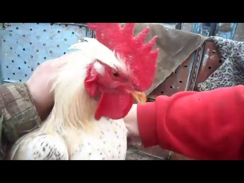Ты не повериш ,просто нереальные шпоры у петуха.You will not believe just unreal spur a rooster.