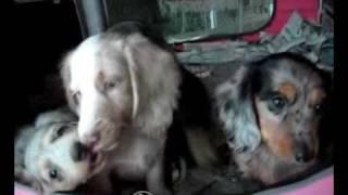 Dachshund (miniature) Dog Meldox Dachshunds