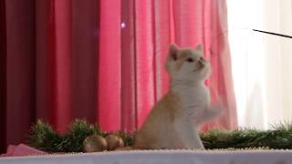 """Британский котик питомника """"ScoFild"""" г.Челябинск"""