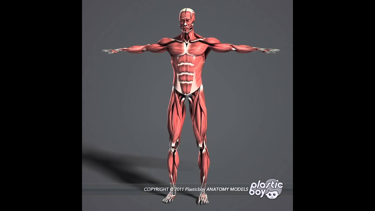 muscles 3d model pack (fully textured) - www.plasticboy.co.uk, Muscles