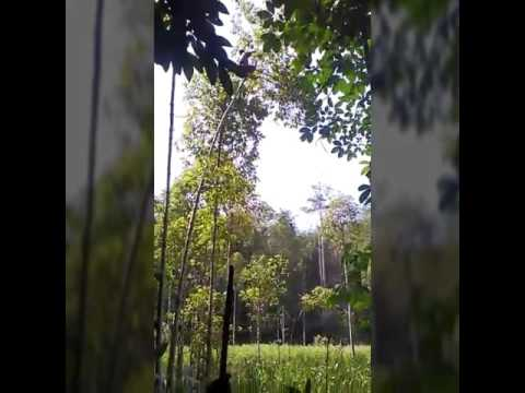 Daun Puri - Supplier kratom from jungle borneo