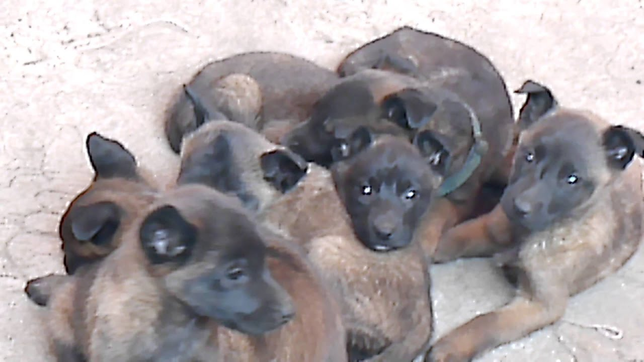 Fotos cachorro pastor belga malinois 86