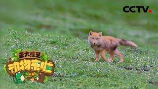 [正大综艺·动物来啦]我国高海拔地区的哺乳动物的共同特征是什么| CCTV