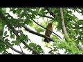 Merdu Kicauan Burung Wambi Di Alam Bebas  Mp3 - Mp4 Download