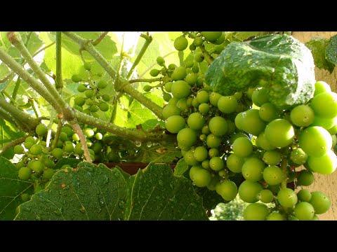 Вопрос: Чем подкормить виноград во время цветения Какие удобрения использовать?