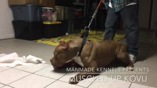 BIGGEST XXL PITBULL ON EARTH; Muscled Up Kovu; ManMade Puppy puppies; XL Rednose chocolate Pitbull