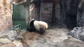 Funny Panda #BejingZoo #Animals