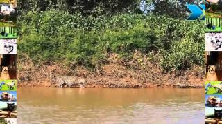jaguar atacando un cocodrilo en vivo