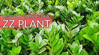 ZZ Plant Care: The Gorgeous, Tough As Nails Houseplant / Joy Us Garden
