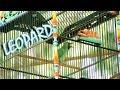 Lomba Kicau Aksi Cucak Ijo Leopard Juara  Di Event Danki Cup   Mp3 - Mp4 Download