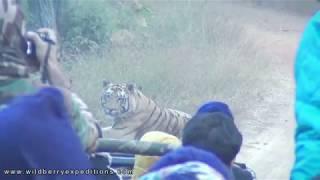 Tiger Safari Video | Tadoba Andhari Tiger Reserve