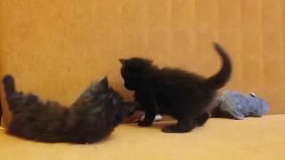 Котята мейн-кун. Возраст 1 месяц