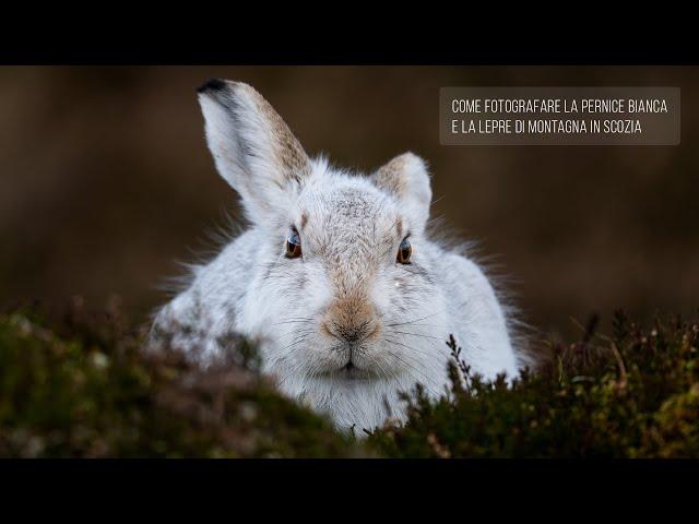 Come fotografare la pernice bianca e la lepre di montagna in Scozia