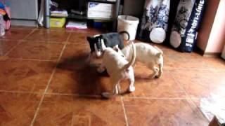 Pui Bull Terrier - Canisa Four Horsemen (kato&siska 10.12.2009)