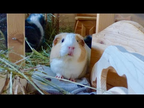 What Does A Good Guinea Pig Cage Look Like?