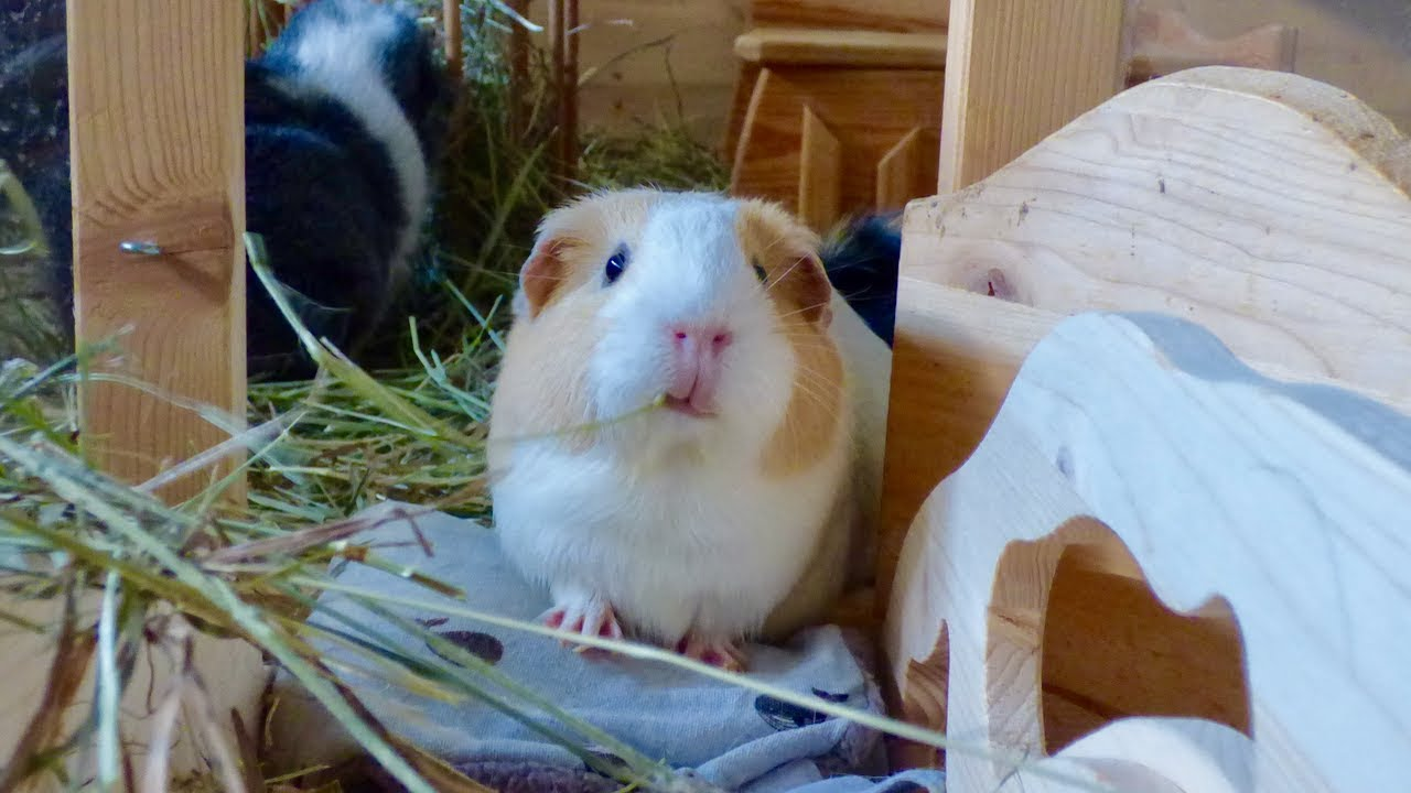 What Does A Good Guinea Pig Cage Look Like - Youtube-7392
