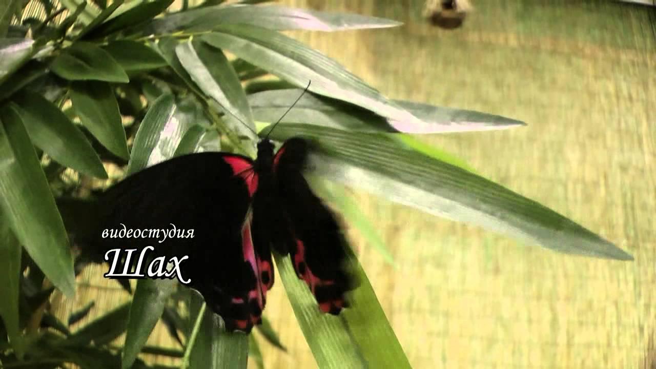 Через наших партнёров вы также сможете заказать салют из бабочек на свадьбу, выпуск живых бабочек на свадьбе, живые бабочки в подарок или просто купить живую бабочку. Чтобы купить живых бабочек в подарок или заказать салют из бабочек на свадьбе звоните и пишите нам. Контакты магазина.