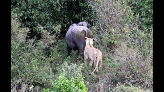 Masai Mara safari 3:   A game of dare, Lions v Buffalo