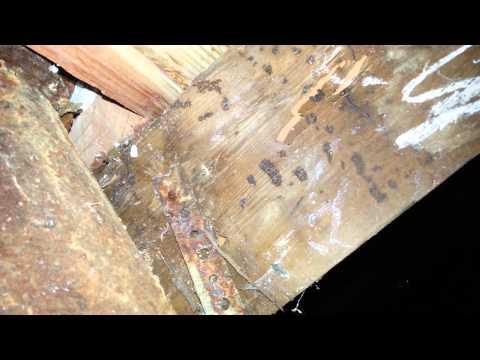 Subterranean termites communicating