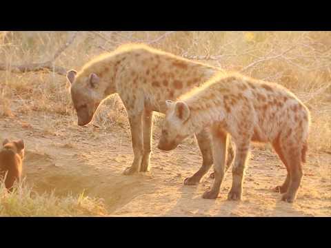 Wild animal - Hyena video
