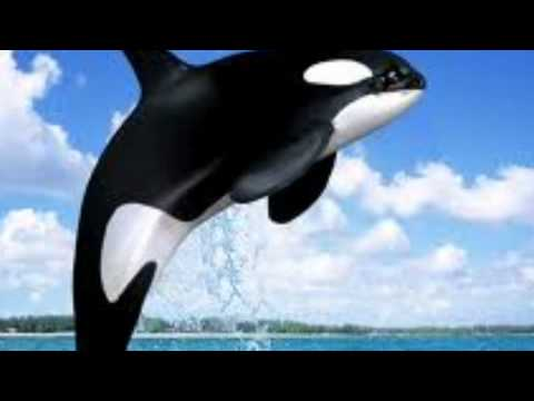 Killer Whale Facts - YouTube
