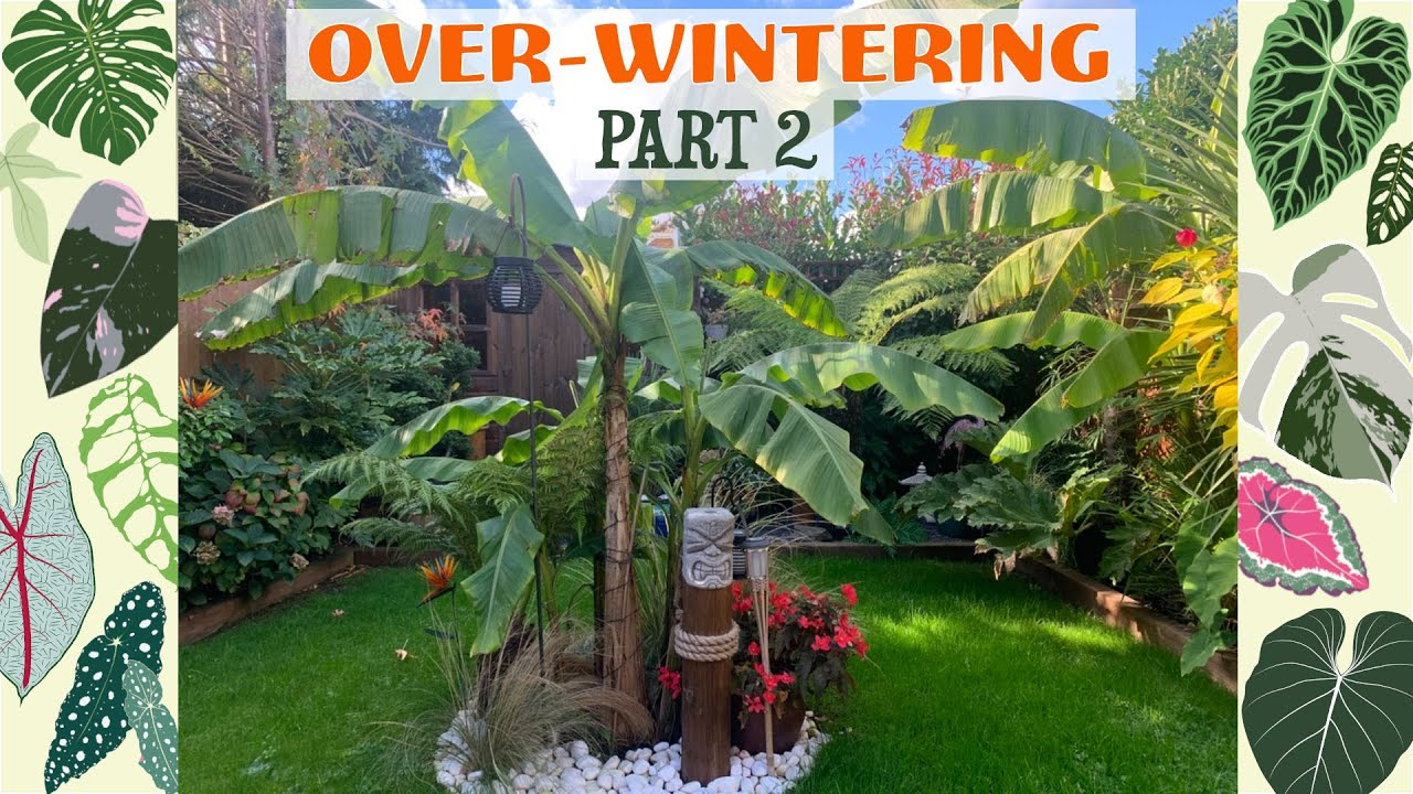 How I Over-Winter My Musa Basjoo, Cannas, Gunnera etc 🌿🌴🍁🍂🧡