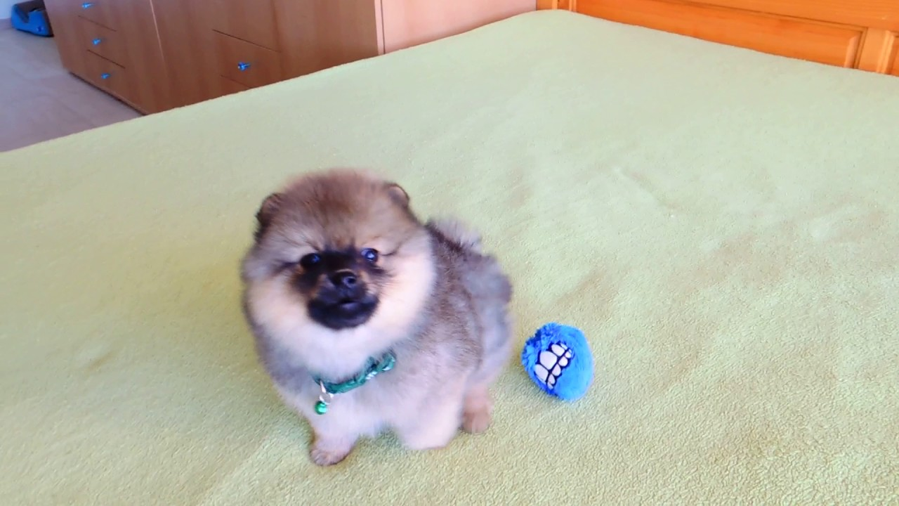 male pomeranian for sale male pomeranian puppy for sale youtube 3711