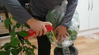 화초 초간단 살균 소독제 만들기 (소주 락스 파리약 스…