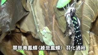 翠斑青鳳蝶(綠斑鳳蝶)羽化過程.