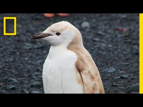 "Mutant ""Blond"" Penguin Spotted in Antarctica 