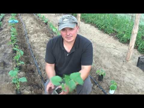 ОГУРЦЫ. ВАЖНЫЕ МОМЕНТЫ ПОДГОТОВКИ РАССАДЫ И ВЫСАДКА В ГРУНТ. | выращивание | получить | хороший | огурцов | огурцах | высадка | урожай | огурцы | как | на