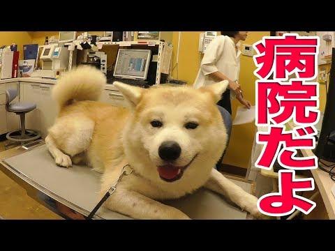 セレナで動物病院 秋田犬  ジャーマンシェパード犬