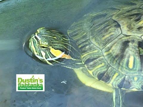 Dustin 39 s turtle tanks what aquarium plants to feed red for Dustins fish tanks