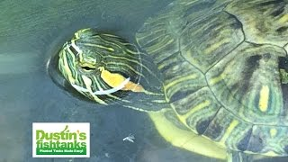 Turtles- What Aquarium Plants To Feed Red Eared Slider Turtles.