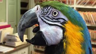 21 year old blue and gold macaw in for radical beak trim