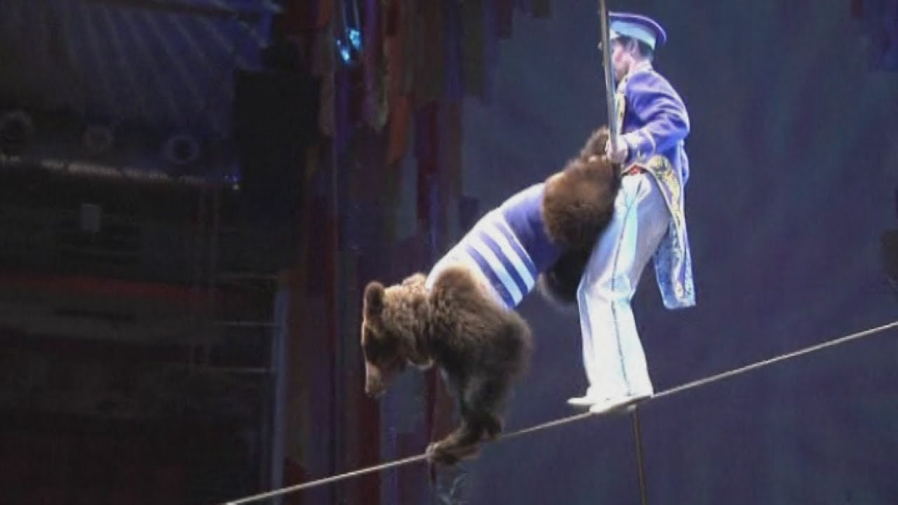 Russian circus bear jump roping dancing and on a