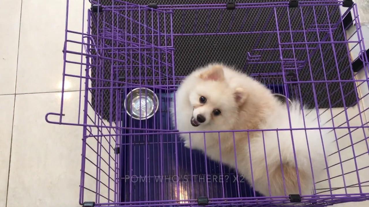 Chó Phốc sóc có canh nhà được không? | Huấn luyện chó | BossDog (DOG GUARDING)