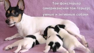 Самые маленькие породы собак(, 2014-05-23T14:37:26.000Z)