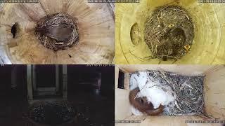 Онлайн-трансляция из гнезд птиц  16.06.2021 года.   город Калуга