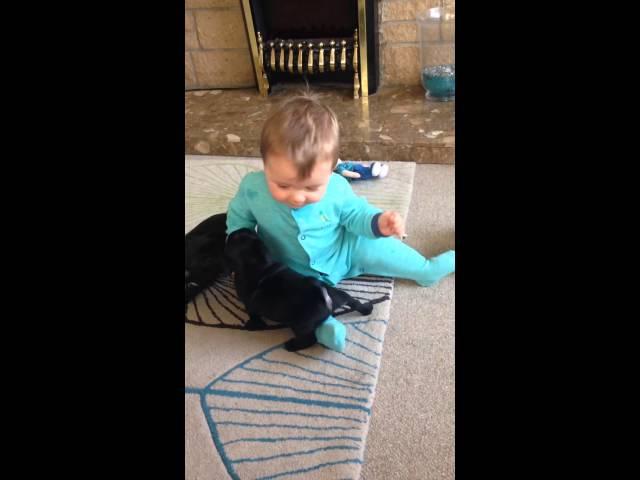 cute Baby laughing at pug puppies