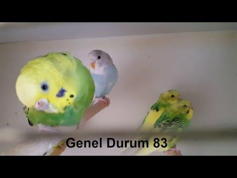 Muhabbet Kuşu Genel Durum #83