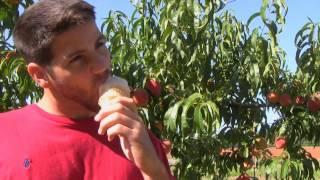 Elberta Tree - Peach Ice Cream