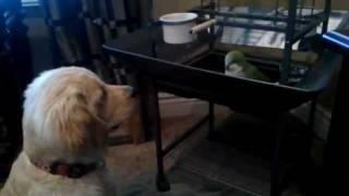 Golden Retriever And Quaker Parrot Brawl