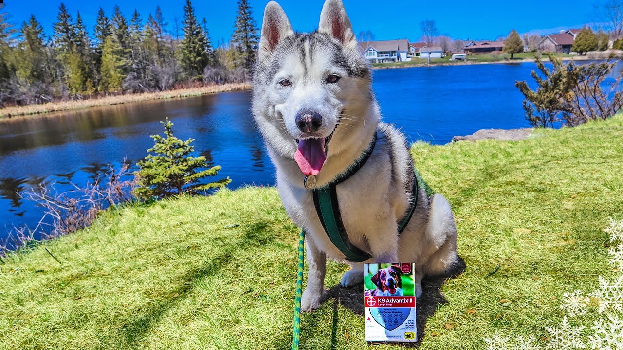 Adventure Husky Goes for a Hike – Protected from Fleas and Ticks