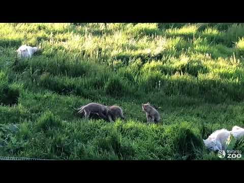 Wolf Pupdate- Toronto Zoo